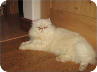 Persian Cat for adoption in Fort Collins, Colorado - Ira