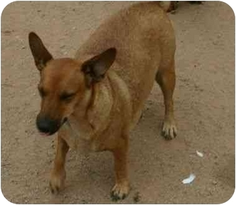 Corgi/Shepherd (Unknown Type) Mix Dog for adption in Queen Creek, Arizona - Queenie