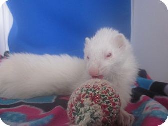 Ferret for adoption in Toledo, Ohio - Sage