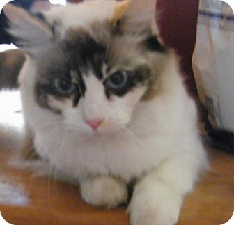 Himalayan Cat for Sale in anywhere, New Hampshire - Allure