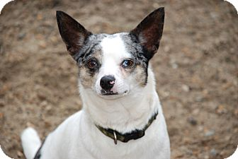 Jack Russell Terrier/Chihuahua Mix Dog for adption in Norfolk, Virginia - Huey