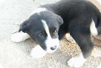 Border Collie Mix Puppy for Sale in manasquam, New Jersey - Arco