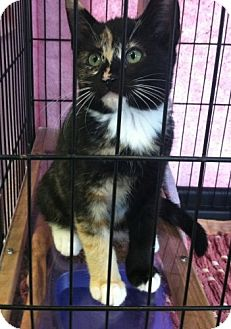 Calico Kitten for Sale in Red Bluff, California - Imp