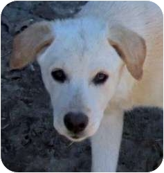 Labrador Retriever Mix Puppy for adption in Leming, Texas - Lulu