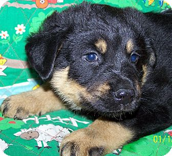 Australian Cattle Dog/German Shepherd Dog Mix Puppy for Sale in Niagra Falls, New York - Toby