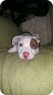 American Pit Bull Terrier/American Staffordshire Terrier Mix Puppy for Sale in Glastonbury, Connecticut - Angel - meet me!