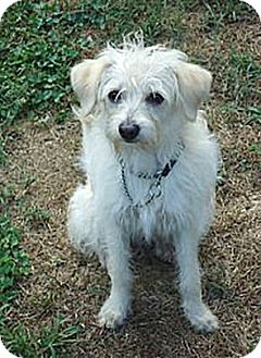 Poodle (Miniature)/Terrier (Unknown Type, Small) Mix Dog for adption in Patterson, New York - Cody