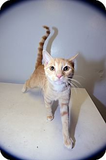 Domestic Shorthair Cat for Sale in New York, New York - Jose Limon