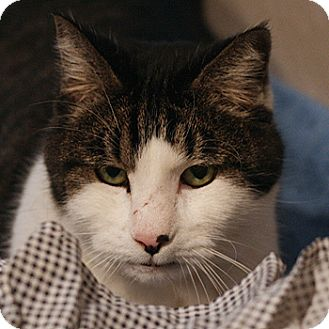 Manx Cat for adoption in Columbia, Maryland - Snuggles