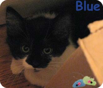 Domestic Shorthair Kitten for adoption in Merrifield, Virginia - Blue & Dawn