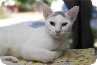 Domestic Shorthair Cat for adoption in Elfers, Florida - Sherry