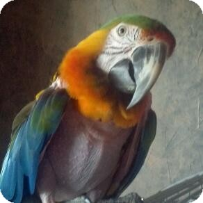Macaw for adoption in Red Oak, Texas - Rainbow