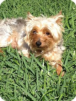 Yorkie, Yorkshire Terrier Dog for Sale in Missouri City, Texas - Boo