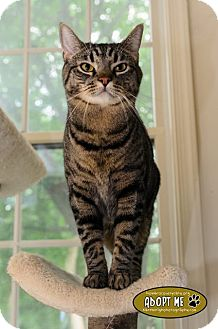 Domestic Shorthair Cat for Sale in Columbia, Maryland - Charles