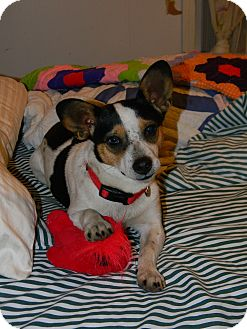 Corgi/Jack Russell Terrier Mix Dog for Sale in Germantown, Maryland - Rosie