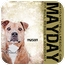 Photo 4 - American Pit Bull Terrier Mix Dog for adoption in Phoenix, Arizona - Mason