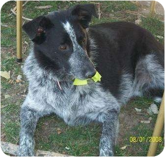 Australian Cattle Dog/Border Collie Mix Dog for adption in Logan, Utah - Stockton