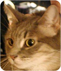 Maine Coon Cat for adoption in New York, New York - Sophie