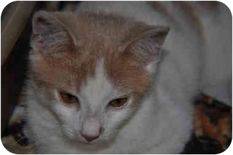 Domestic Shorthair Cat for adoption in Grafton, West Virginia - Stormy