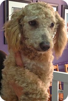 Poodle (Miniature) Mix Dog for Sale in Thousand Oaks, California - Wilbert