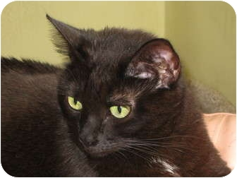 Domestic Mediumhair Cat for adoption in La Canada Flintridge, California - Tara