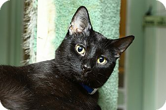 Domestic Shorthair Cat for adoption in Lombard, Illinois - Kansas