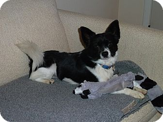 Papillon Mix Dog for Sale in Bellingham, Washington - Toby