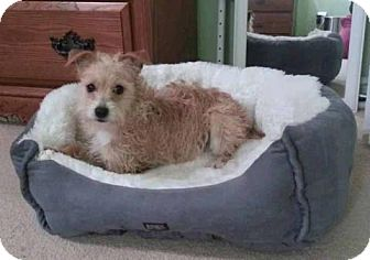 Cairn Terrier Mix Dog for Sale in Bridgeton, Missouri - Daisy Mae