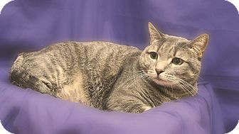 Domestic Shorthair Cat for Sale in Richmond, Virginia - Lucy