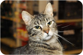 Domestic Shorthair Cat for adoption in Farmingdale, New York - Shiloh