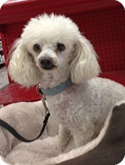 Poodle (Toy or Tea Cup) Dog for adption in Long Beach, California - Oliver