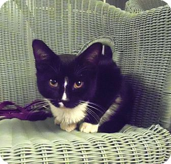 Domestic Shorthair Kitten for Sale in Catasauqua, Pennsylvania - Springer