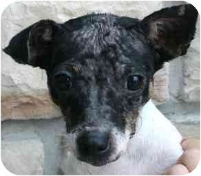 Fox Terrier (Smooth)/Rat Terrier Mix Dog for adption in House Springs, Missouri - Kylie
