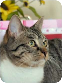 Domestic Shorthair Cat for adoption in Fairbury, Nebraska - BeBop