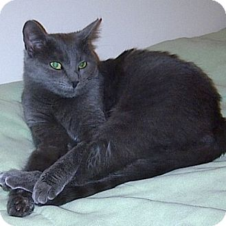 Russian Blue Cat for Sale in Mississauga, Ontario, Ontario - Alexandra