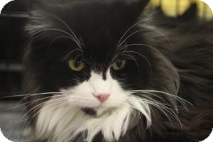 Maine Coon Cat for Sale in Sacramento, California - Pickles