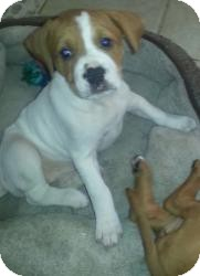Mastiff/Boxer Mix Puppy for Sale in Marlton, New Jersey - Charlotte