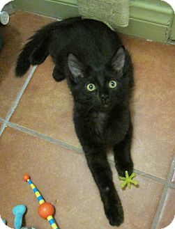 Domestic Mediumhair Kitten for adoption in Long Beach, California - Lacey