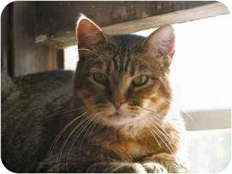 Domestic Shorthair Cat for adoption in Fairbury, Nebraska - Bonnie Purrker