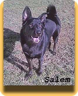 German Shepherd Dog/Akita Mix Dog for adption in Elyria, Ohio - Salem-I need a dog person!