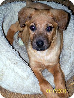 Boxer Mix Puppy for Sale in Niagra Falls, New York - Gunter