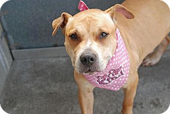 American Pit Bull Terrier Mix Dog for adption in Flushing, New York - Dasiy