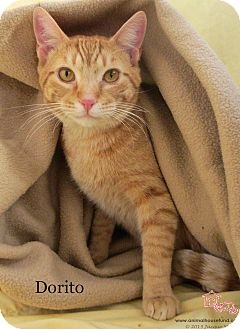 Domestic Shorthair Cat for adoption in St Louis, Missouri - Dorito