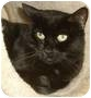 Adopt A Pet :: Licorice - Las Vegas, NV