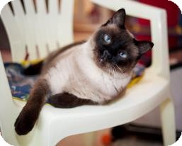 Siamese Cat for adoption in St. Charles, Missouri - Chanel