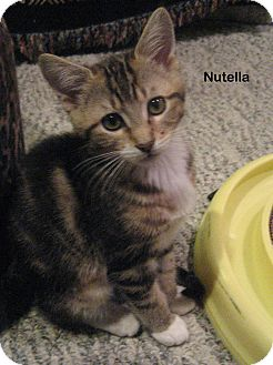 Domestic Shorthair Kitten for Sale in Portland, Oregon - Nutella