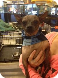 Chinese Crested Mix Dog for adption in Tucson, Arizona - Killer