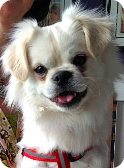 Japanese Chin Mix Puppy for Sale in Thousand Oaks, California - Bogie