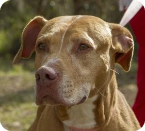 Pit Bull Terrier Mix Dog for Sale in Gainesville, Florida - Buffy