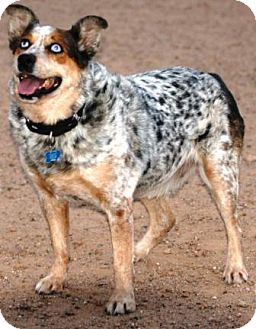 Australian Shepherd/Australian Cattle Dog Mix Dog for adption in Gilbert, Arizona - Lucky
